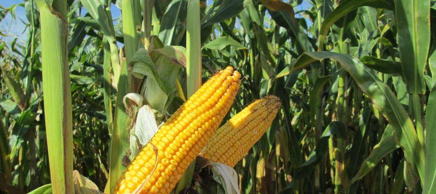 Duża i w pełni zaziarniona kolba świadczy o odpowiednio wysokim i dobrze zbilansowanym nawożeniu kukurydzy