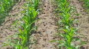 Ekspert radzi: Jaką odmianę kukurydzy wybrać?