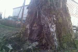 Uszkodzone drzewo w Rączkach stwarza zagrożenia dla garaży?