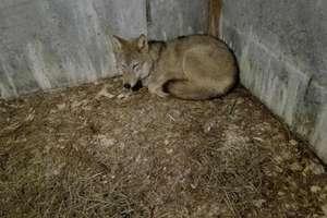 Wilk z Białegostoku znalazł schronienie w ośrodku w Napromku. Tajemniczy mężczyzna przyprowadził go... na smyczy