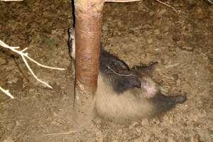 Kłusownicy bestialsko zabili borsuka... w rezerwacie [ZDJĘCIA]