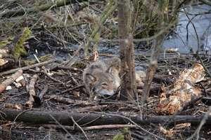 Kolejny młody wilk wpadł w stalowe linki. Walkę o wolność toczył przez kilka godzin [ZDJĘCIA, FILM]