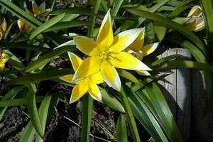 O leśnych tulipanach i transferze wiedzy z uniwersytetu do regionu