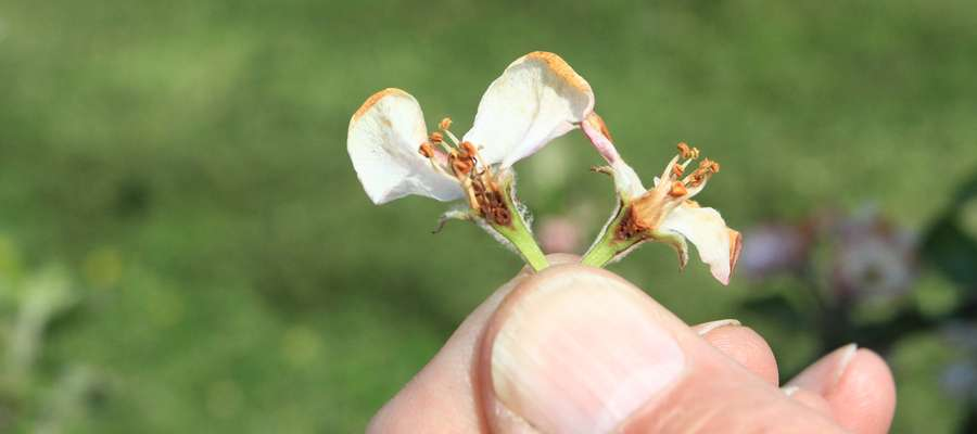 Uprawy można ubezpieczyć kompleksowo lub od pojedynczych ryzyk, np. wymarznięcia