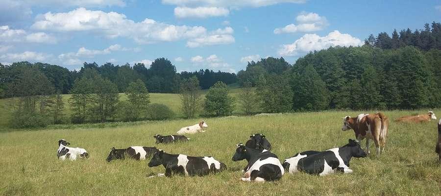 Praktyka rolnicza takich krajów, jak Irlandia, Finlandia, Holandia, Wielka Brytania wykazuje, że można uzyskiwać wysokie wydajności mleka w oparciu wyłącznie o kiszonki z traw lub równoważne ilości traw i kukurydzy