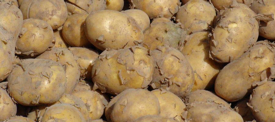 Na liście naszego regionu znajduje się 13 odmian ziemniaka, z czego pięć z grupy bardzo wczesnej, trzy średniowczesne i jedna odmiana z grupy średniopóźnej i późnej