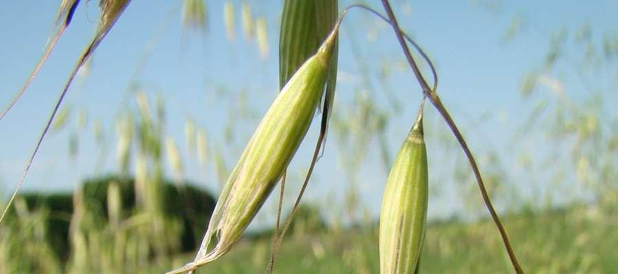 Już 10 roślin występujących na 1 m2 może zmniejszyć plon jęczmienia jarego o 10 proc., a przy 100 roślinach na 1 m2, plon spada nawet o połowę