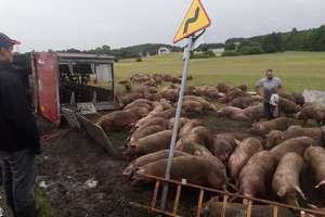 Pod Hartowcem przewróciła się naczepa z trzodą chlewną. 180 świń uciekło w pole