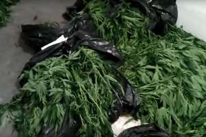 Mrągowscy policjanci zabezpieczyli 300 krzaków marihuany [VIDEO]