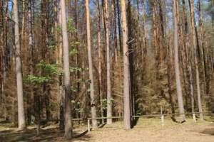 Opryski uratowały olsztyńskie lasy