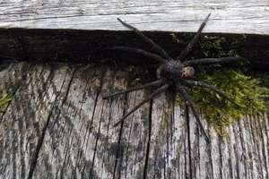 Gigantyczny pająk grasuje po naszej okolicy