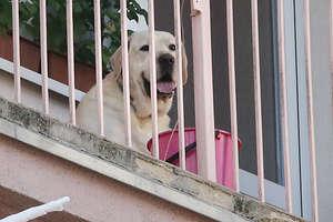 W upalny dzień zamknęli psa na balkonie. W sprawie cierpiącego zwierzęcia interweniowała kobieta