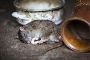 Po mieszkaniu chodzą szczury wielkości kotów