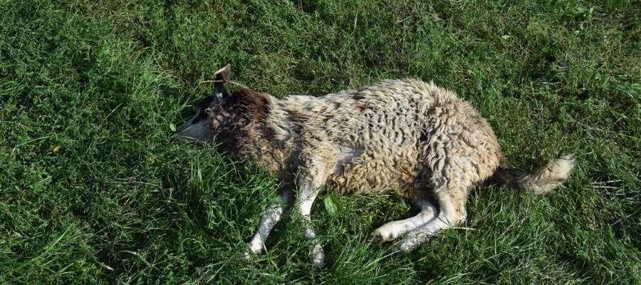 Wilki zagryzły owce w gospodarstwie pod Olsztynem