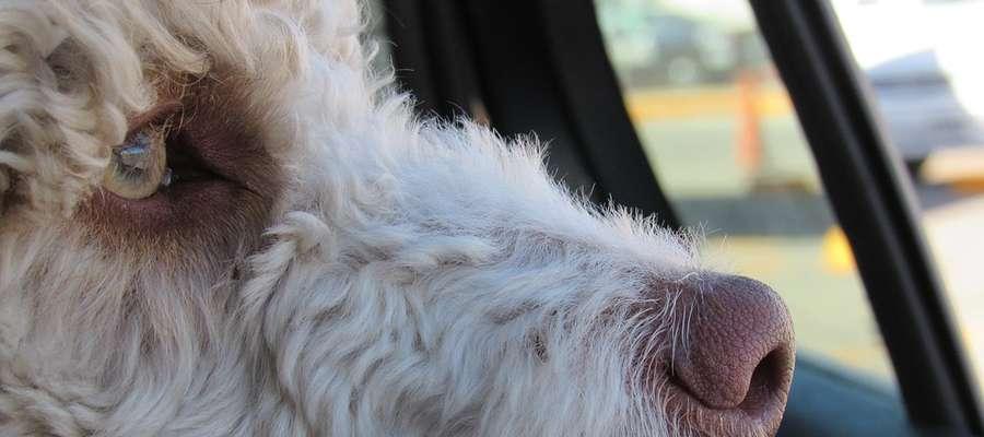 Co robić, gdy widzimy dziecko lub psa w rozgrzanym słońcem aucie?