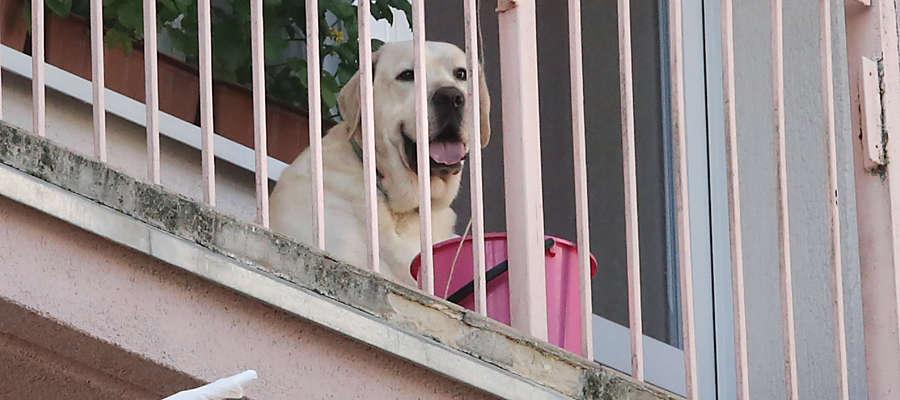 labrador na balkonie