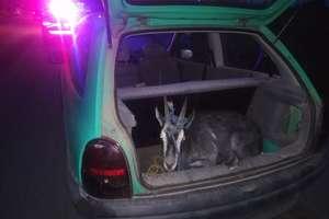 Za kierownicą pijany 18-latek, a w bagażniku koza