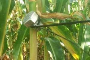 Metalowe pułapki na polach kukurydzy zmorą rolników