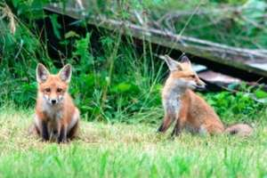 Po szczepieniach lisów przeciwko wściekliźnie trzeba uważać w lesie!