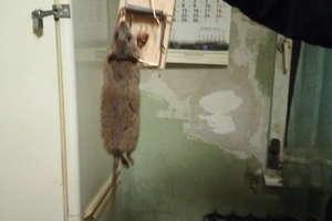Szczury opanowały dom biednych ludzi. Urzędnicy twierdzą, że to wina lokatorów