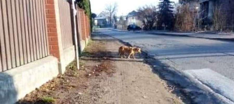 Ten pies błąka się po Łąkorzu