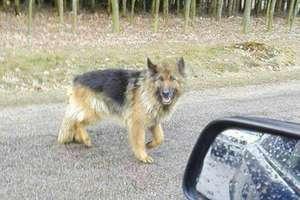 Kierowca samochodu na NDZ porzucił psa w okolicach Wieczfni
