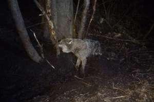 Leśnicy uratowali rannego wilka z kłusowniczego wnyka [ZDJĘCIA]