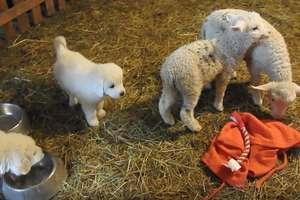 Hodowcy zwierząt otrzymali owczarki podhalańskie. W czym będą pomagały psy?