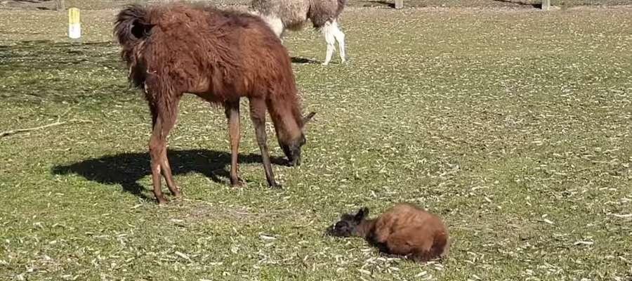 Mała lama na  wybiegu z rodzicami