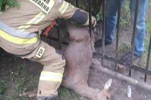 Strażacki tydzień. Pomogli uwięzionej sarnie, a z jeziora w Kinkajmach wyłowili padłe dziki