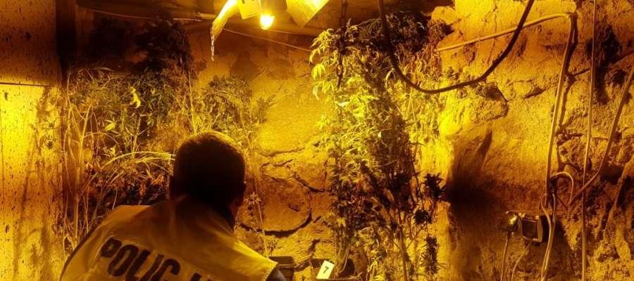Krzaki konopi w piwnicy, marihuana na strychu