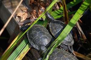 Żółw błotny stoi na drodze do budowy S16