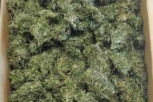 Ryn: 700 gramów suszu roślinnego oraz 6 krzewów konopi