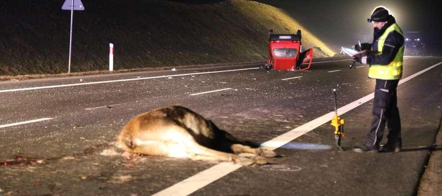 Zderzenie auta z ważącym kilkaset kilogramów łosiem często kończy się tragicznie dla kierowcy i zwierzęcia.