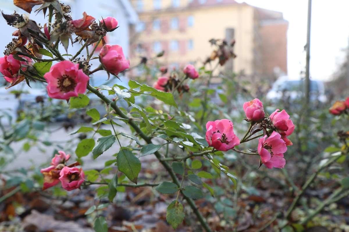 Róża zakwitła zimą