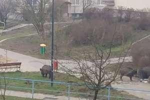 Dziki w Olsztynie.