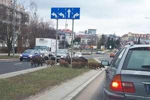 Stado dzików wstrzymało ruch na skrzyżowaniu w Olsztynie