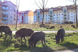 Dziki na Jarockiej w Olsztynie