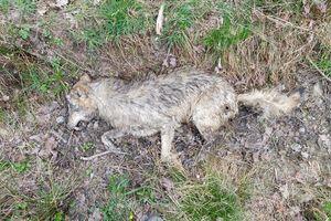 Liczą wilki w okolicach Bartoszyc