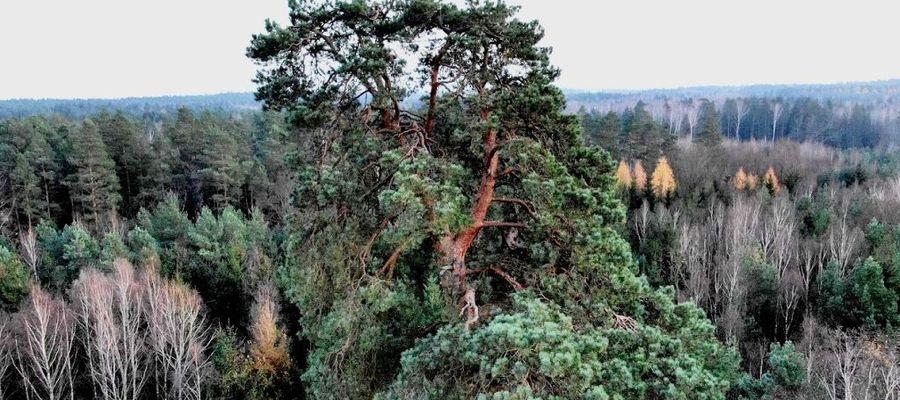 Gruba Kaśka rośnie w Nadleśnictwie Młynary