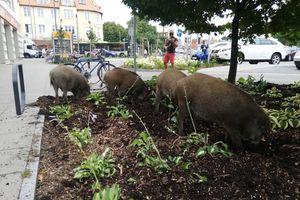 Dziki zrobiły sobie imprezę na parkingu przy placu Bema w Olsztynie [ZDJĘCIA, AKTUALIZACJA]