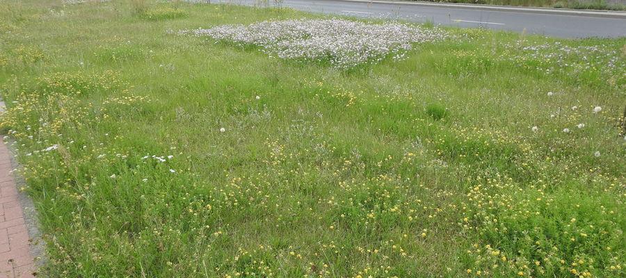 W Olsztynie ze względu na spodziewaną suszę i oszczędności zaniechano pierwszego koszenia trawy