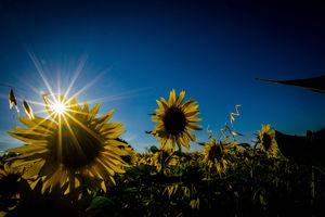 Wymień zdjęcie na Gazetę Olsztyńska: słoneczniki z Bystrego