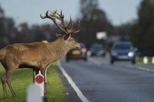 Uwaga na zwierzęta. Coraz więcej zdarzeń drogowych z ich udziałem