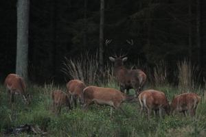 Rykowisko – jesienne misterium jelenich godów [foto]