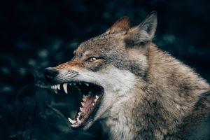 List tygodnia: Dlaczego człowiek dla drugiego człowieka wilkiem jest?