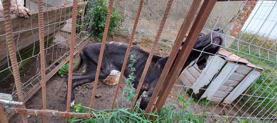 Jeden z psów odebranych właścicielowi przez inspektorów OTOZ Animals Iława