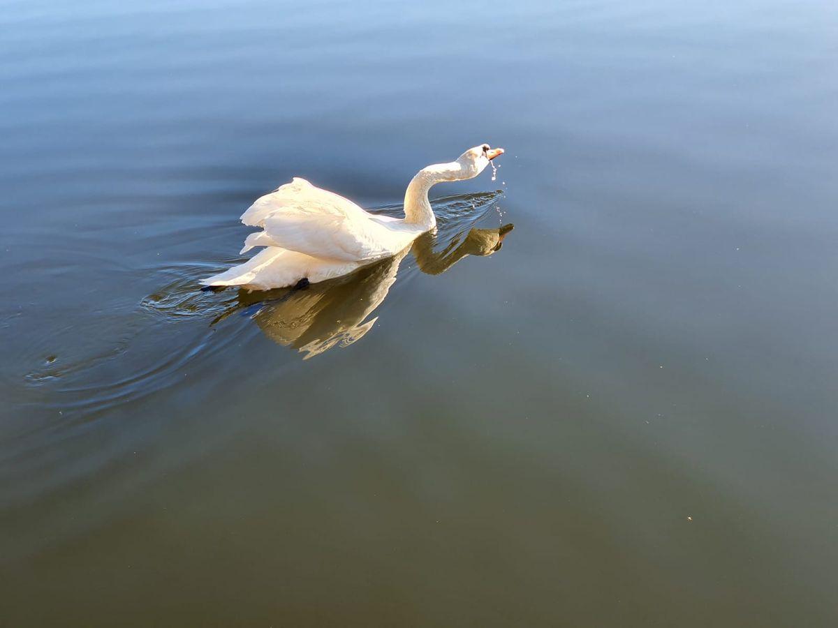 Łabędź na jeziorze Naterskim