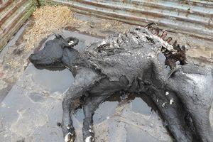 Wilki upolowały cielną jałówkę z gospodarstwa koło Bisztynka