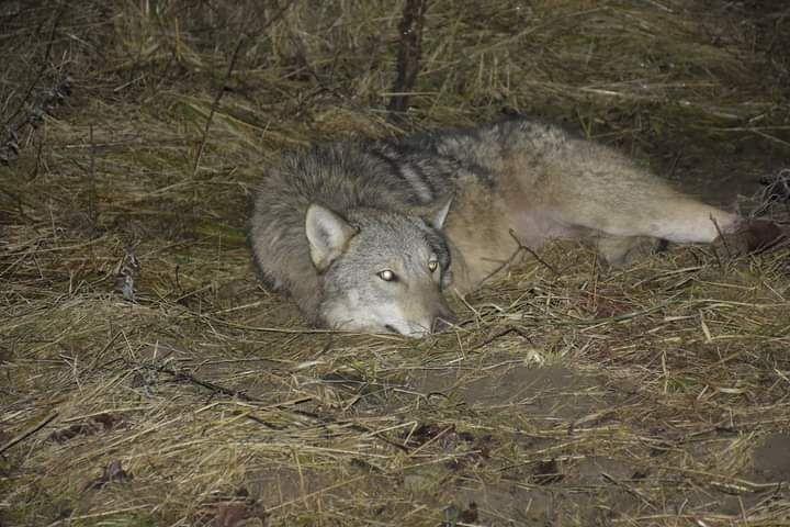 wilk w pułapce